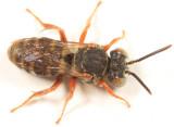Epeolus pusillus