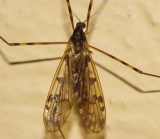 Limonia subgenus Metalimnobia