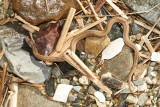 Northern Brown Snake - Storeria dekayi