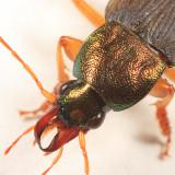 Chlaenius emarginatus
