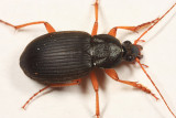 Chlaenius laticollis