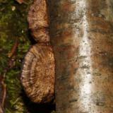 Daedeolopsis confragosa
