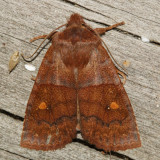 9933 - Eupsilia vinulenta or sidus