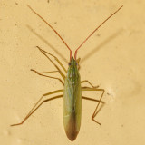 Trigonotylus caelestialium