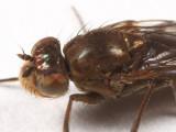 Ephydra sp.