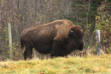 American Bison - Bos bison