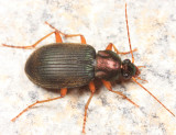 Chlaenius tricolor tricolor