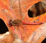 Autumn Meadowhawk - Sympetrum vicinum