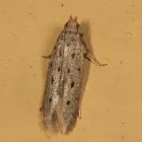 1716 - Monochroa quinquepunctella