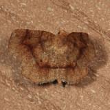 6826 - Common Metarranthis - Metarranthis hypochraria