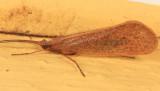 Northern Caddisflies - Limnephilidae