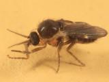 Forcipomyia subgenus Forcipomyia