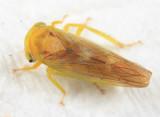 Idiocerus fulgidus