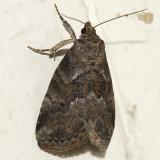 9037 - Dotted Graylet Moth - Hyperstrotia pervertens