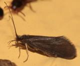Caddisflies - Goeridae