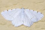 6273 - Lesser Maple Spanworm Moth - Macaria pustularia