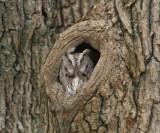 Eastern Screech Owl - Otis asio