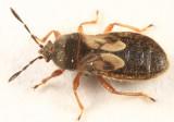 Blissus leucopterus hirtus