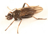 Lesser Dung Flies subfamily Copromyzinae