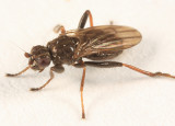 Crumomyia sp.