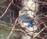 Eastern Bluebird - Sialia sialis (female)