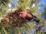 White-winged Crossbill - Loxia leucoptera (male)