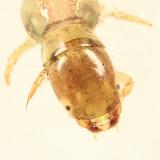 Polycentropus sp.
