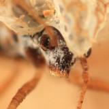 Chrysanthemum Lace Bug - Corythucha marmorata