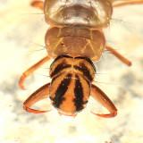 Ptilostomis sp.