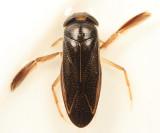 Hesperocorixa atopodonta
