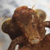Boyeria vinosa (Fawn Darner)
