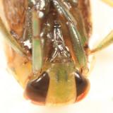 Notonecta lunata
