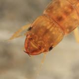 Alderfly - Sialidae - Sialis sp. (larva)