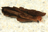 Giant Red Sedge - Pycnopsyche scabripennis
