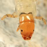 Dipseudopsidae - Phylocentropus carolinus