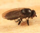 Aptilotus nigriphallus or Nearcticorpus canadensis