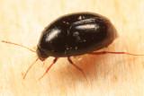 Scaphisoma sp.
