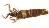 Humpless Casemaker Caddisflies - Brachycentridae