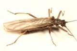 Taeniopteryx parvula