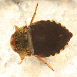 Creeping Water Bugs - Naucoridae