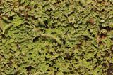 Cladonia coniocraea
