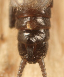Allocapnia recta