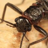 Allocapnia pygmaea
