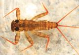 Maccaffertium vicarium