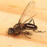 Themira nigricornis