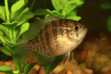 Banded Sunfish - Enneacanthus obesus