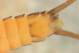 Strophopteryx fasciata