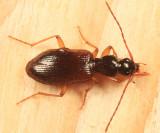 Oxypselaphus pusillus