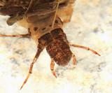 Limnephilus sp.