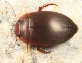 Agabetes acuductus
